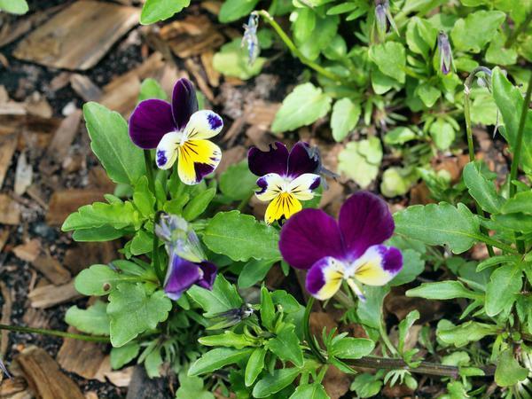 Viola-tricolor-1.jpeg