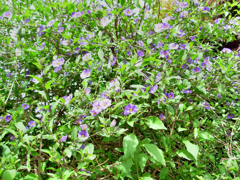 Solanum-bush-1.jpeg