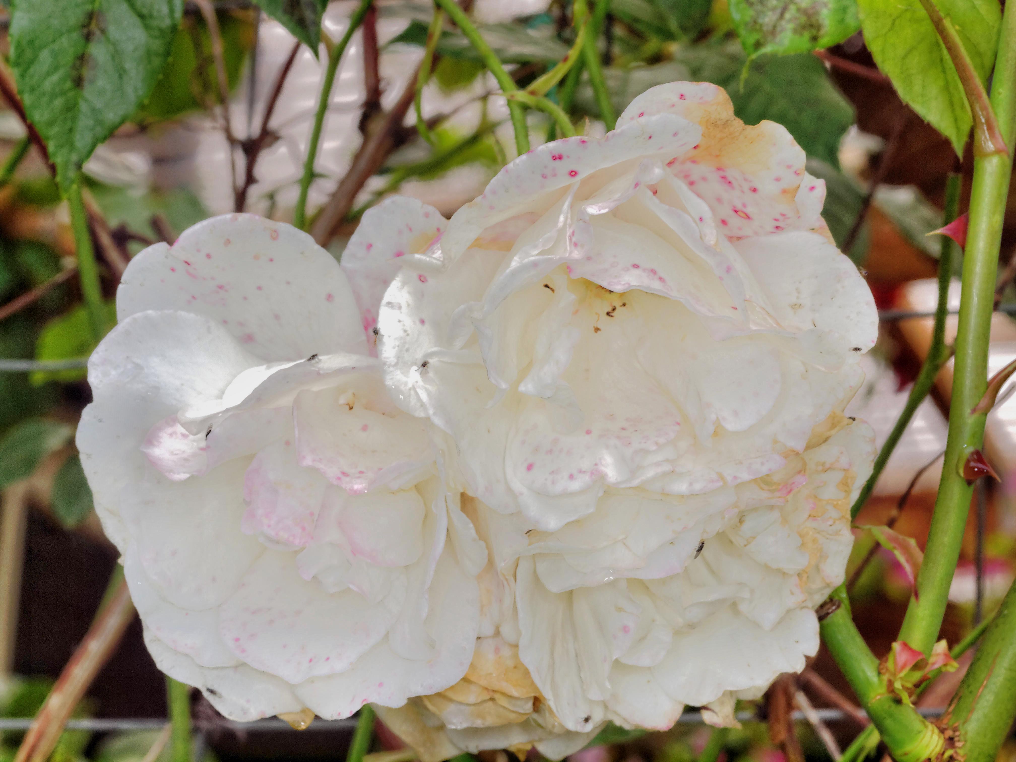 Rosa-iceberg-3.jpeg