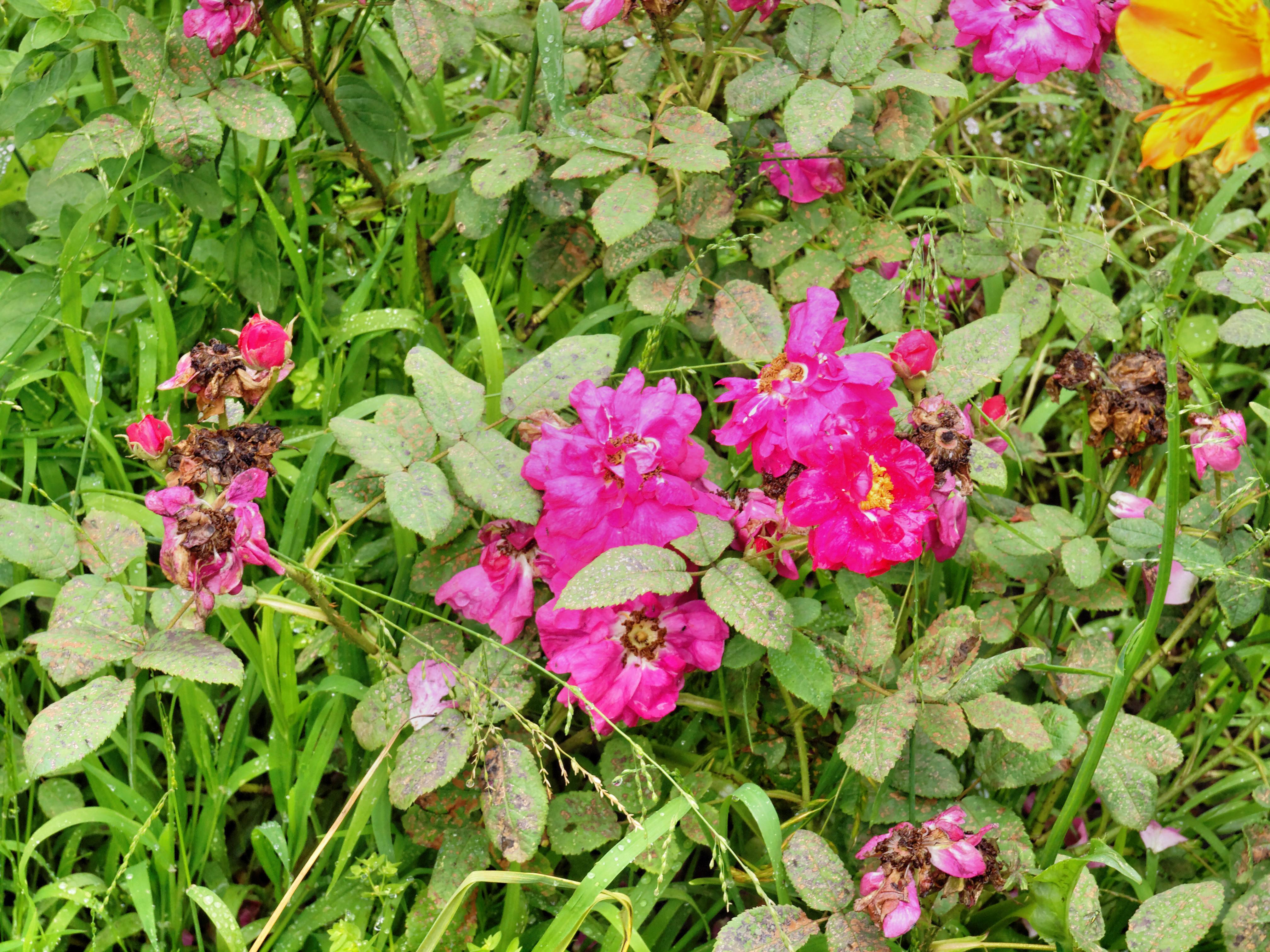 Rosa-officinalis.jpeg