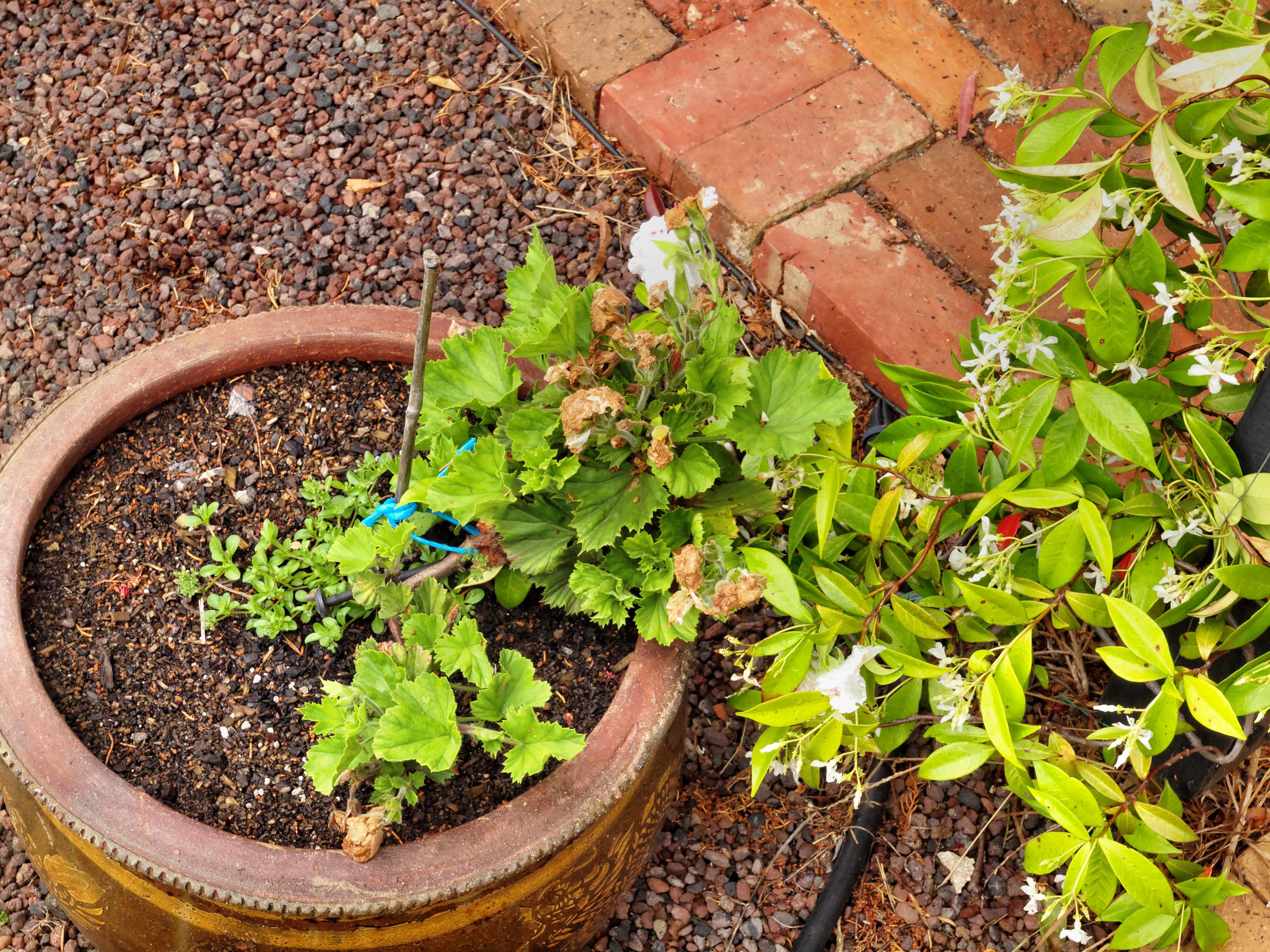 Trachelospermum-Pelargonium.jpeg