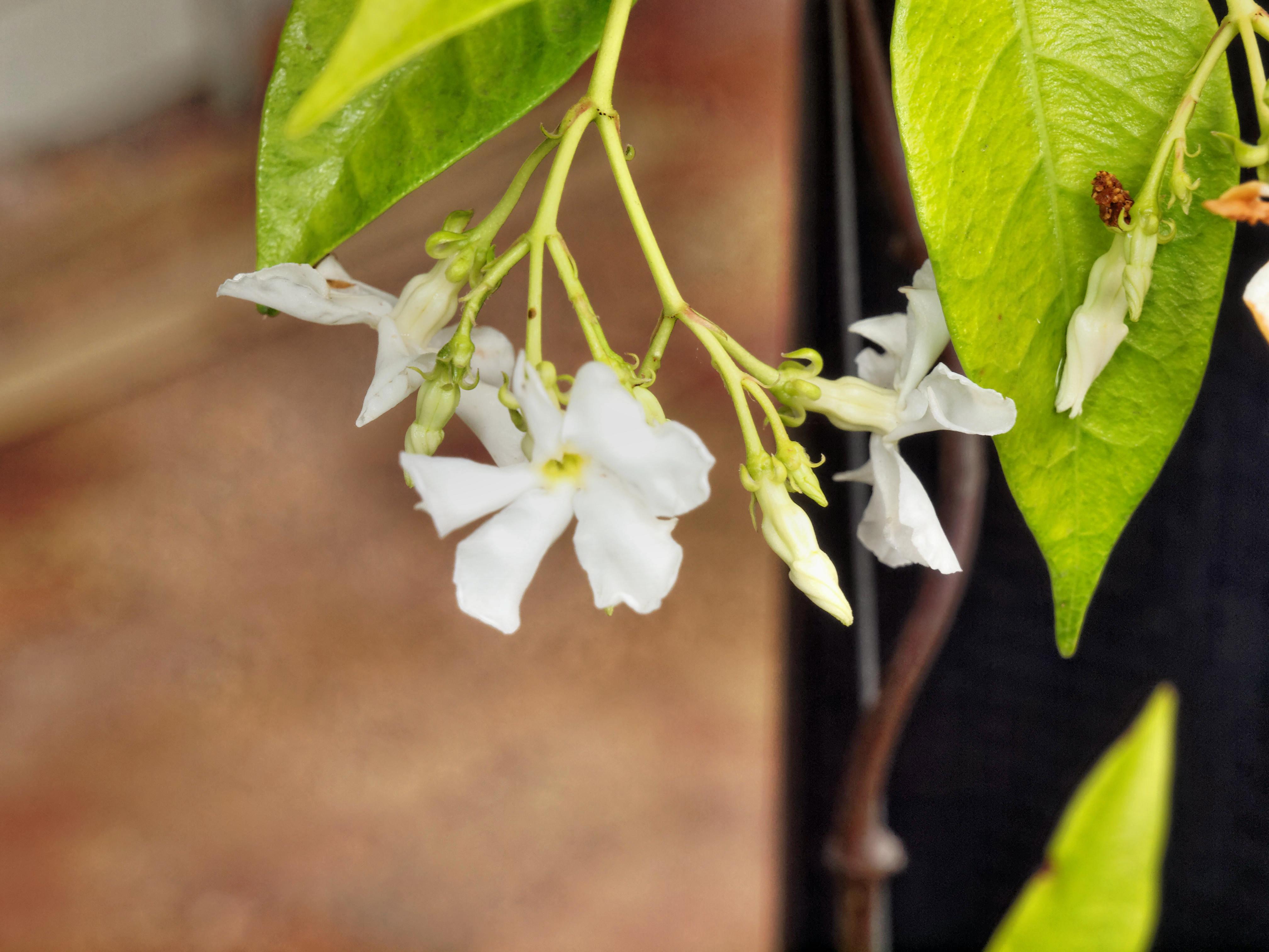 Trachelospermum-jasminoides-1.jpeg