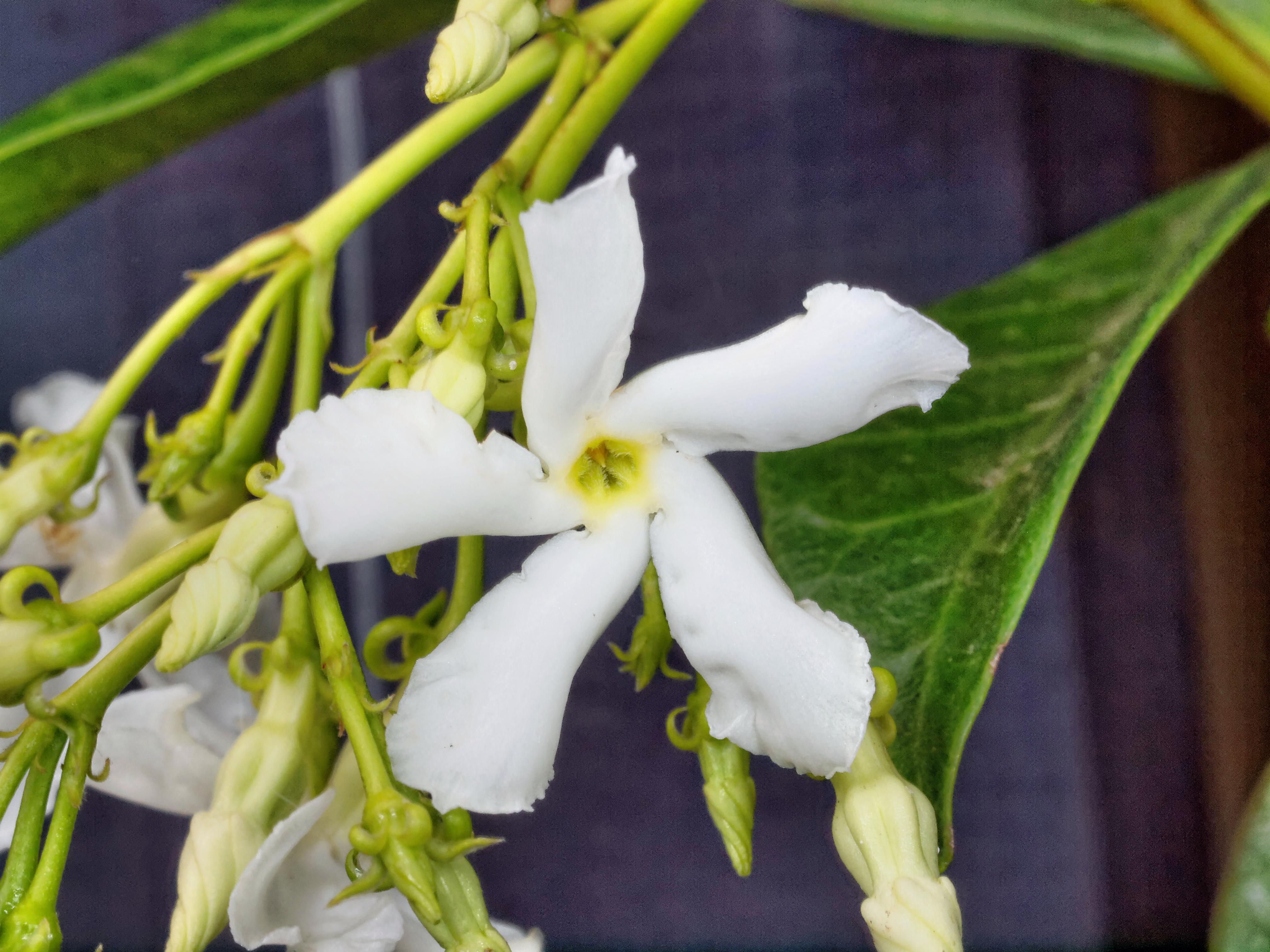 Trachelospermum-jasminoides-3.jpeg