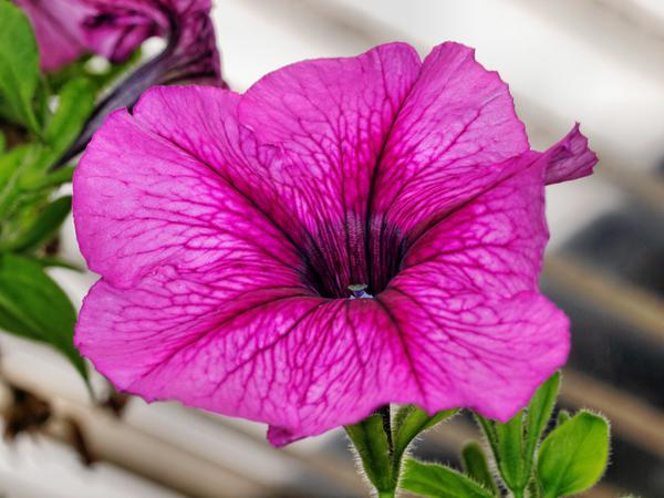 Petunia-4.jpeg
