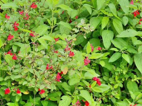 Salvia-microphylla-1.jpeg