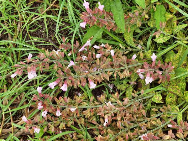 Salvia-officinalis.jpeg