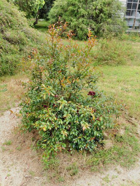 Syzygium-1.jpeg