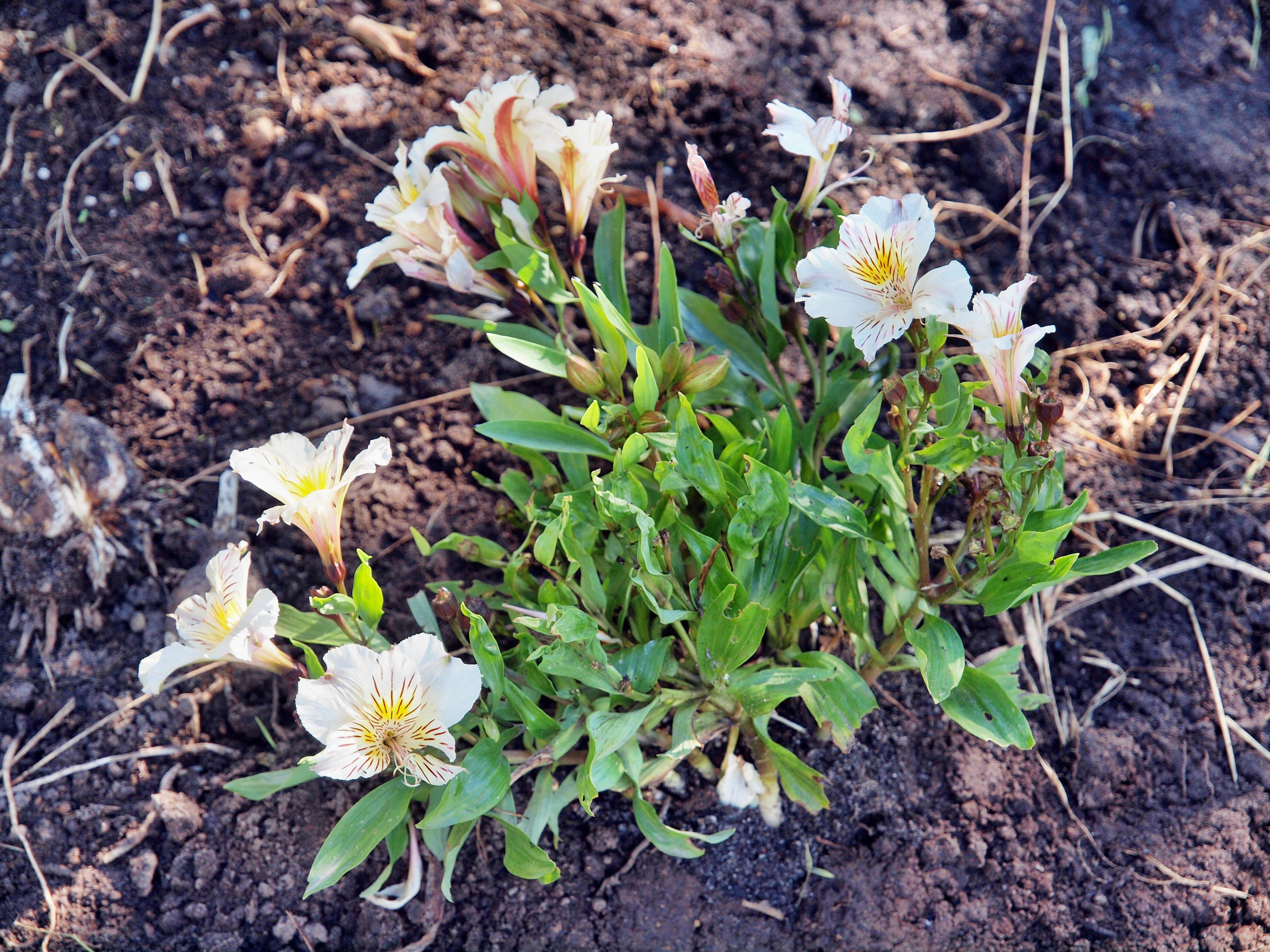 This should be Alstroemeria.jpeg.  Is it missing?