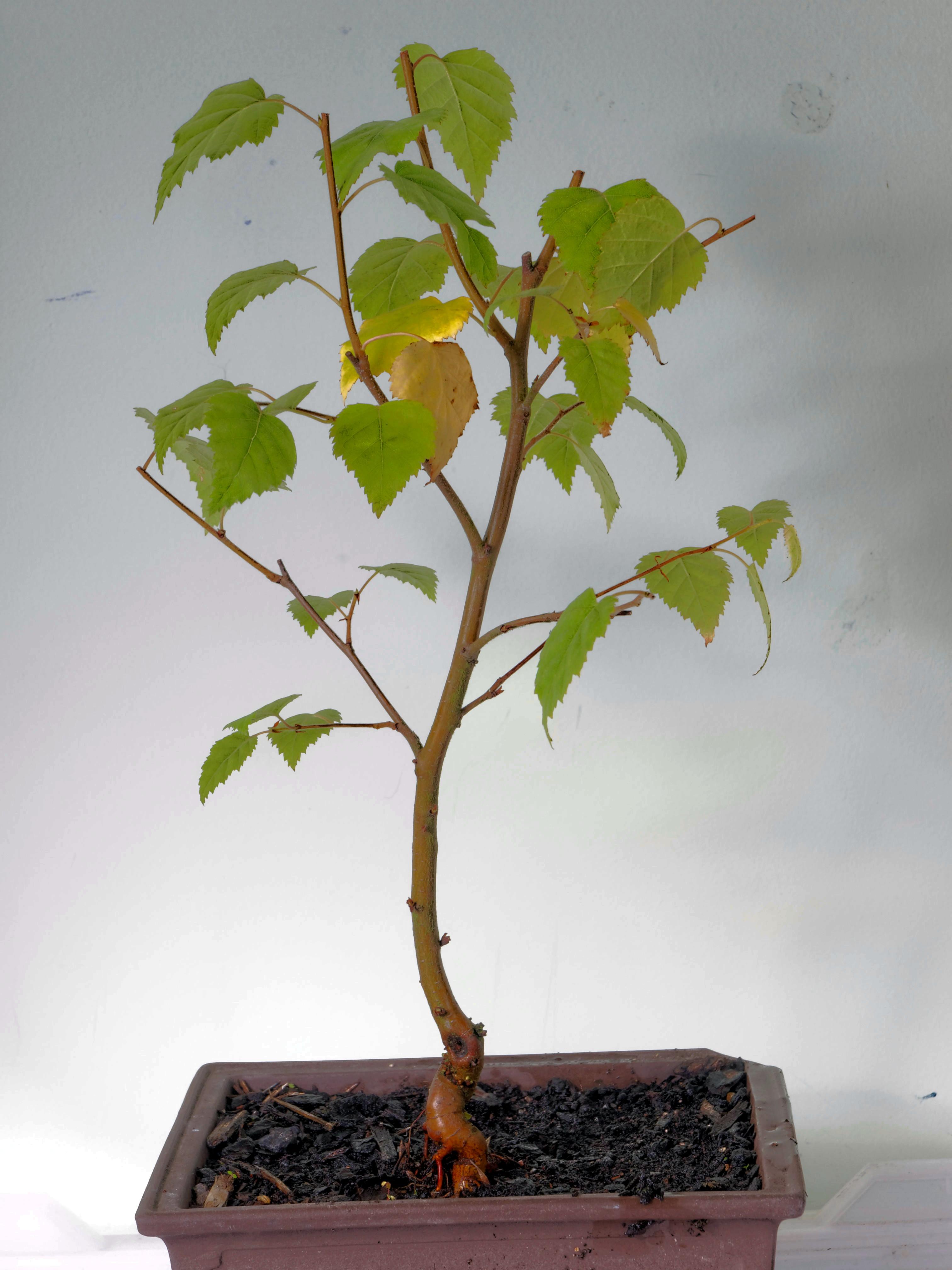 Birch-5.jpeg