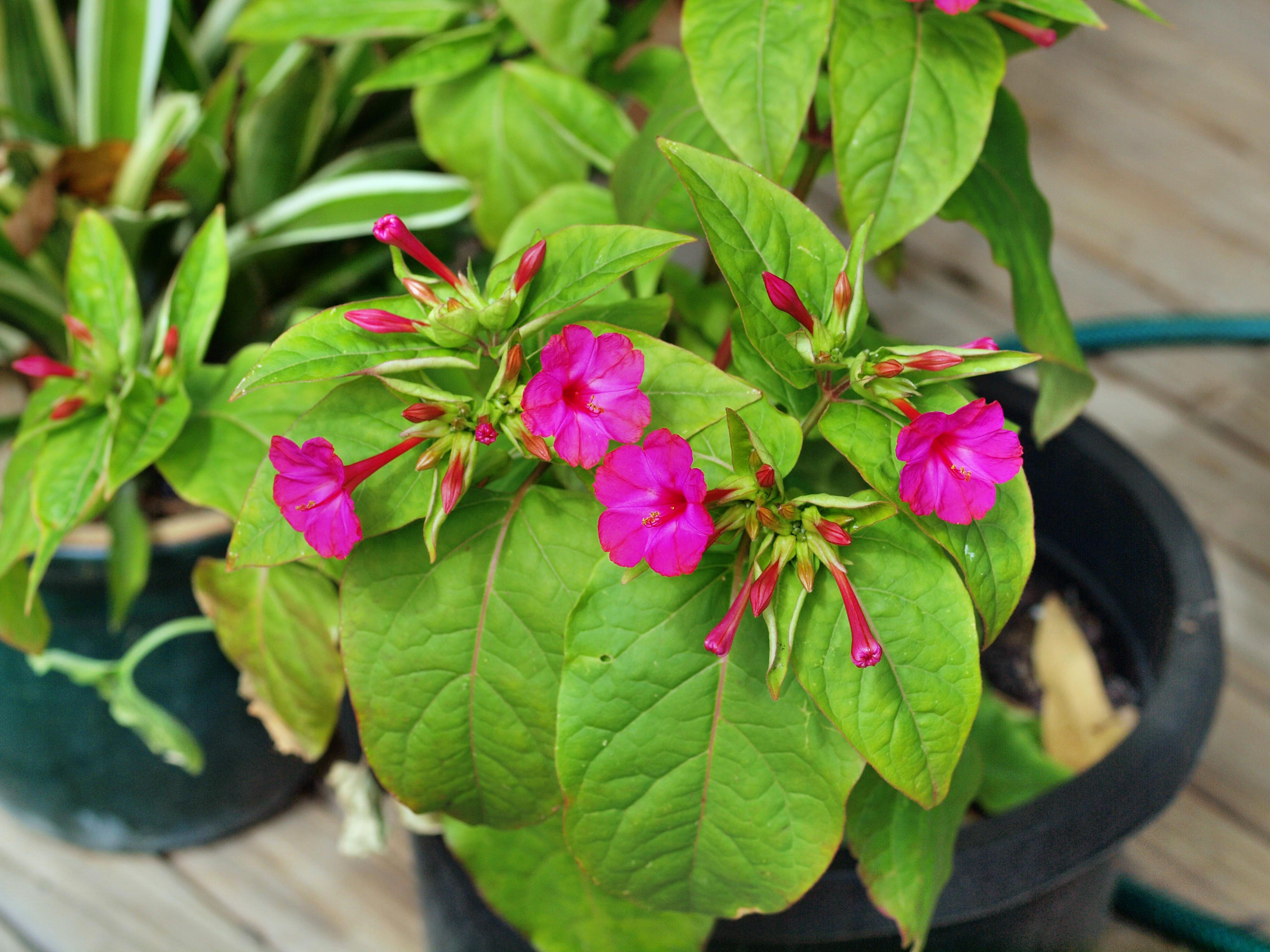 This should be Mirabilis-jalapa-1.jpeg.  Is it missing?