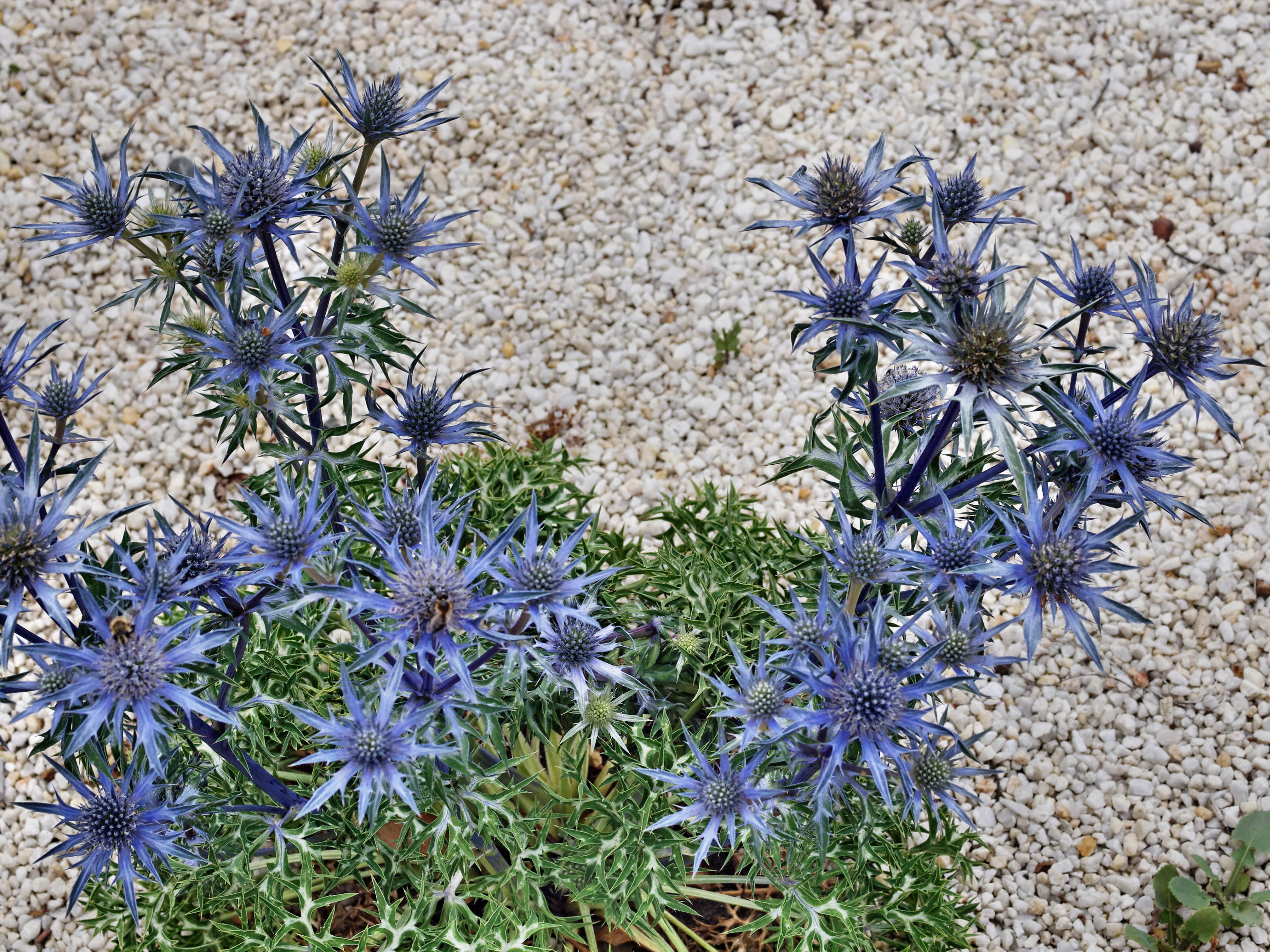 This should be Eryngium-bourgatii.jpeg.  Is it missing?