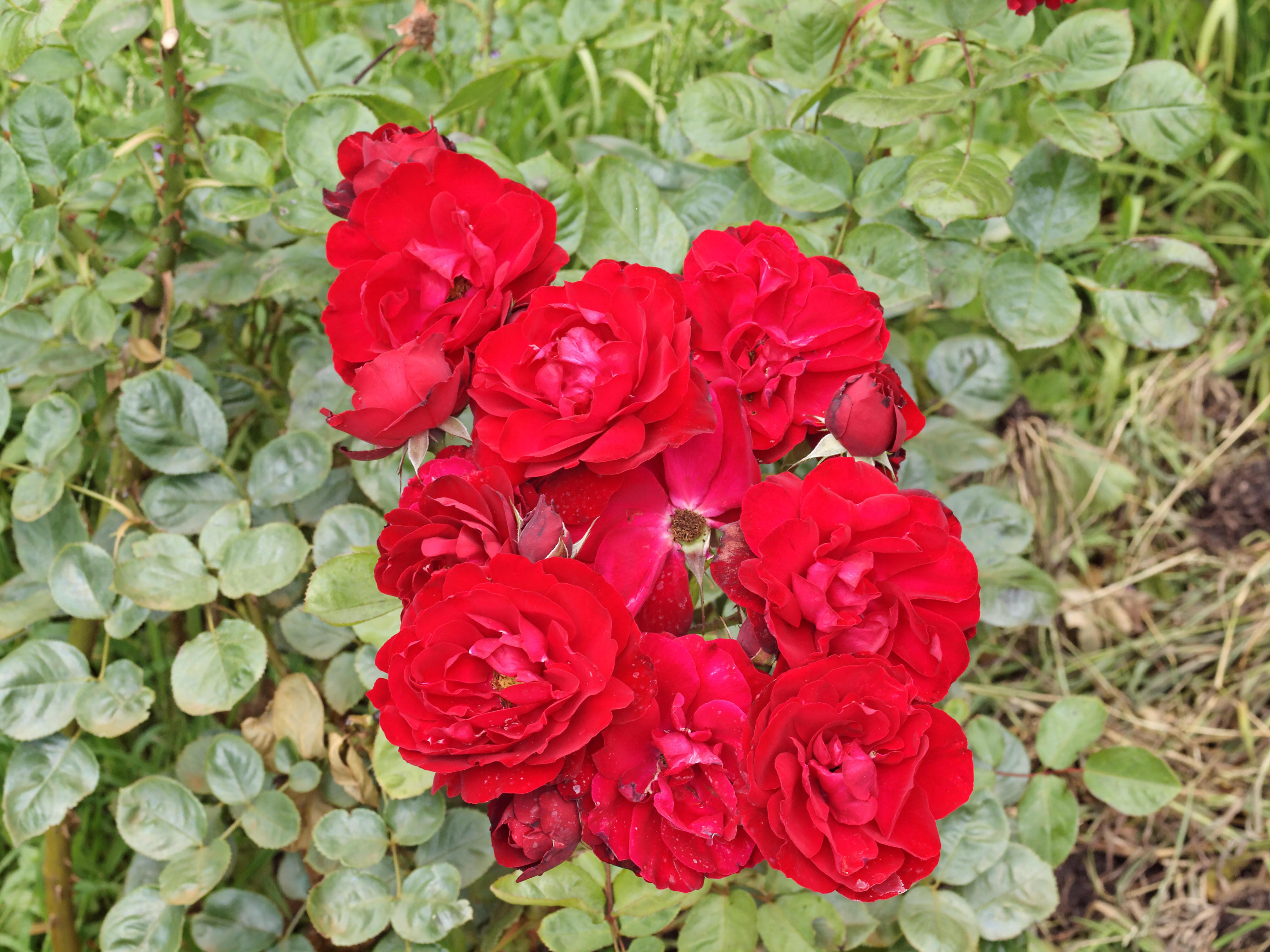 Rosa-Lilli-Marleen.jpeg