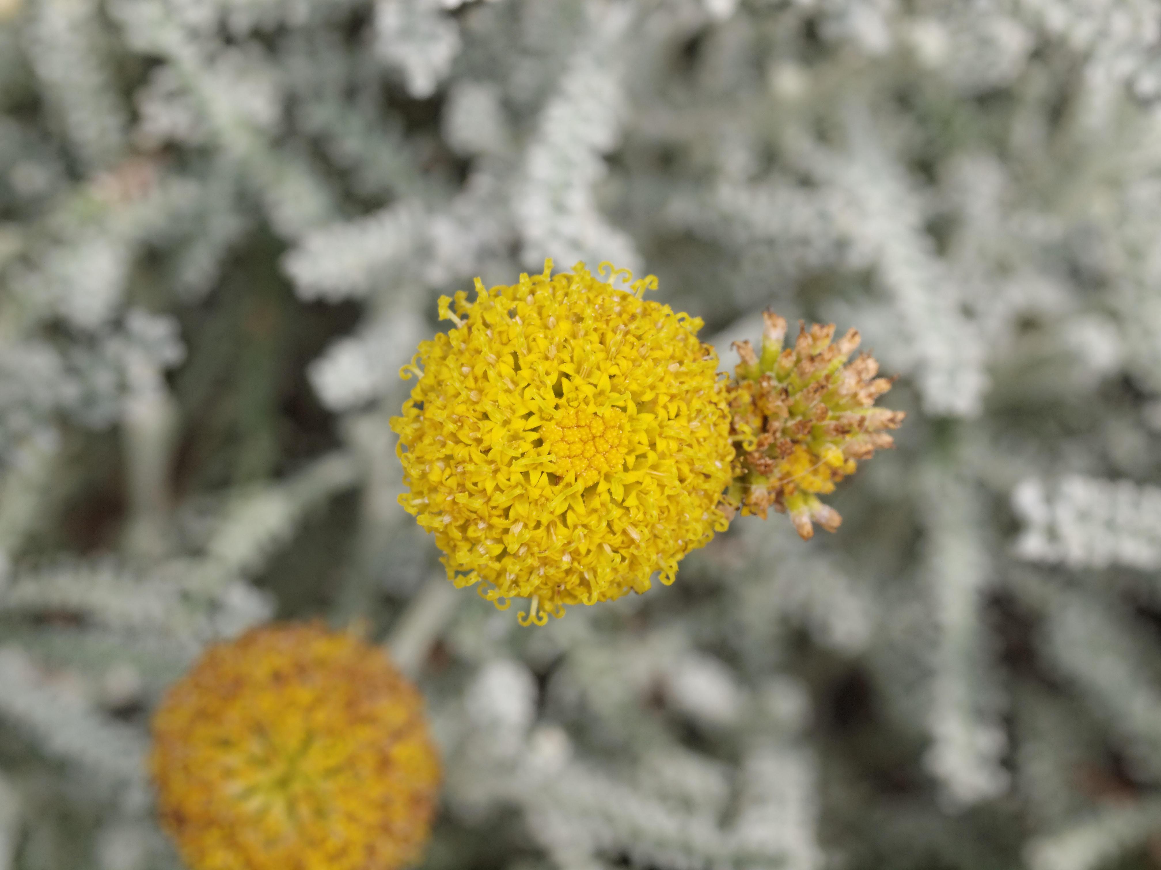 Santolina-chamaecyparissus.jpeg