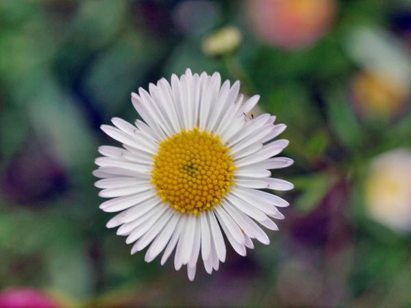 Daisy-3.jpeg