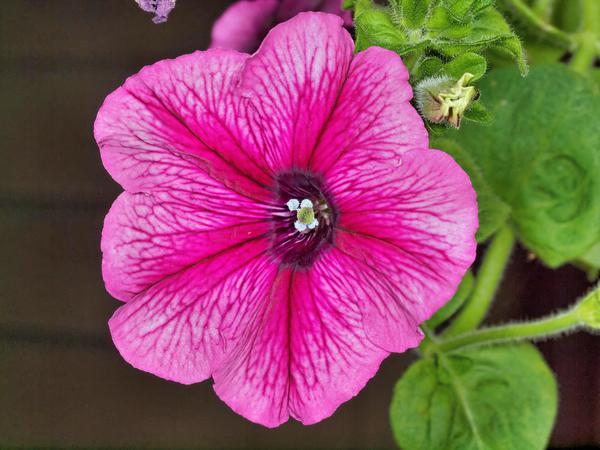 Petunia-5.jpeg