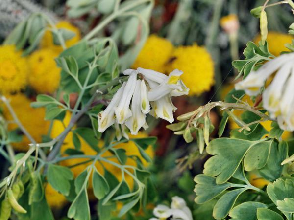 Pseudofumaria-alba.jpeg