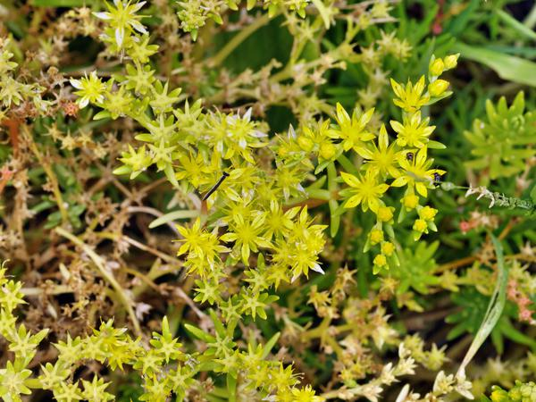Sedum-gold-mound.jpeg