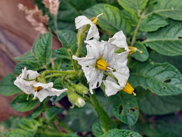 Solanum-tuberosum.jpeg
