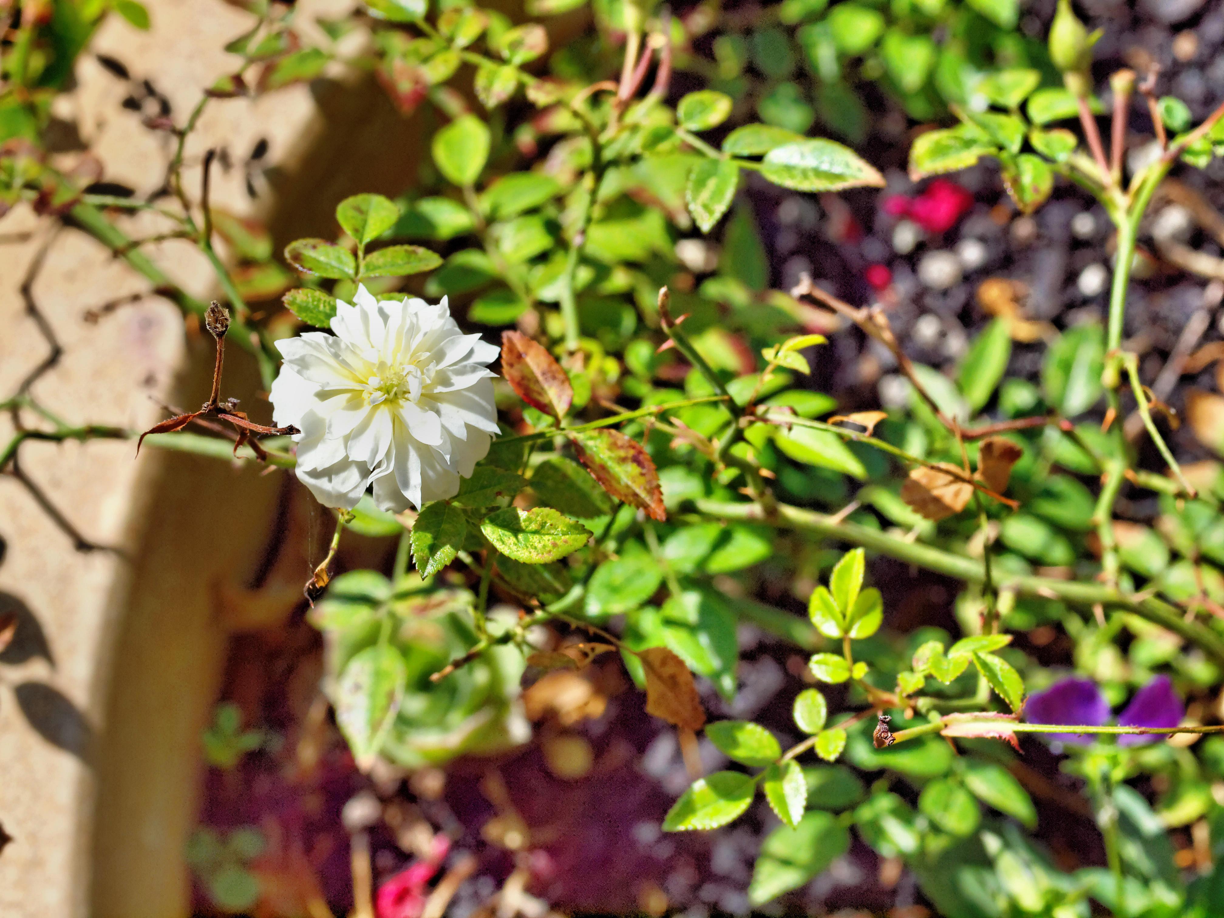 Mini-rose.jpeg