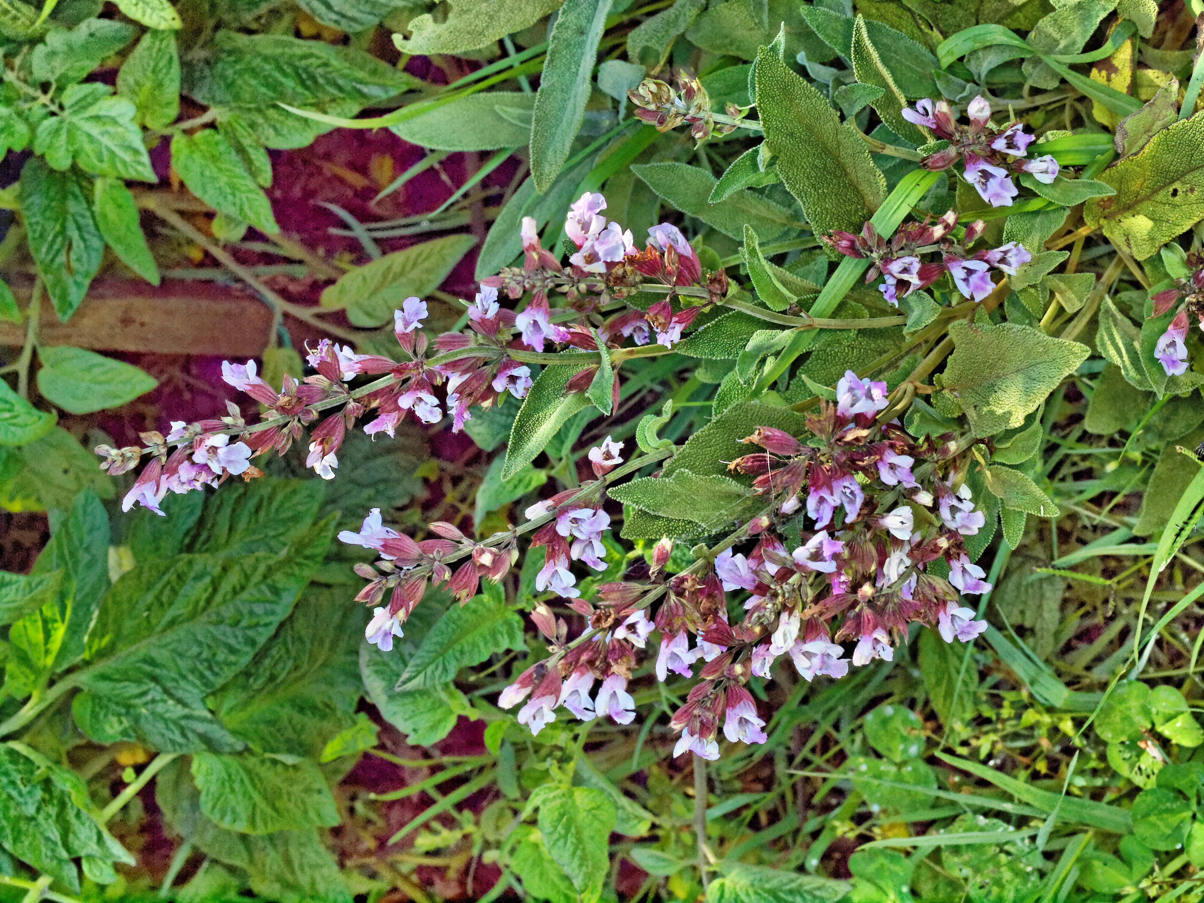 Salvia-officinalis-1.jpeg