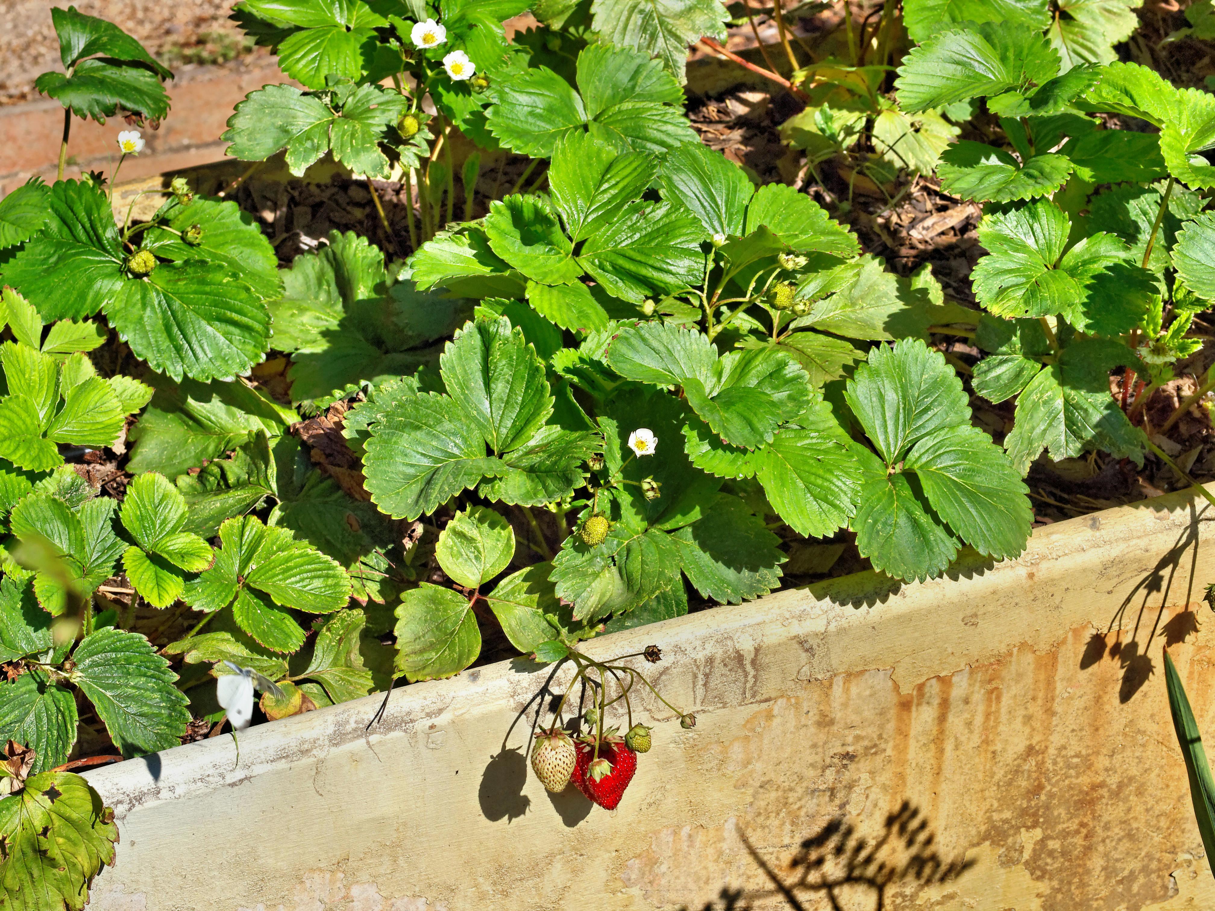 Strawberries-1.jpeg