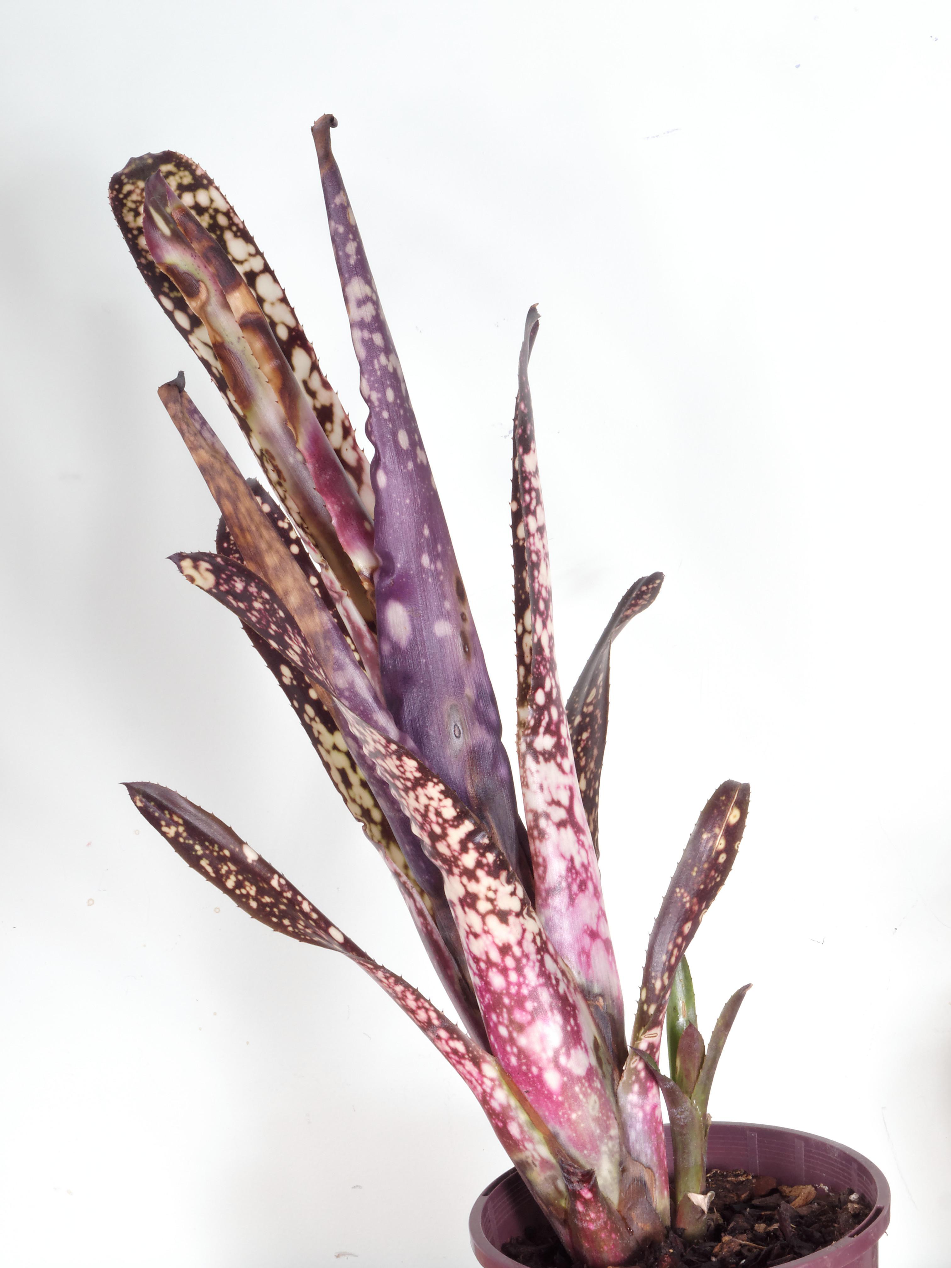 Bromeliad-3.jpeg