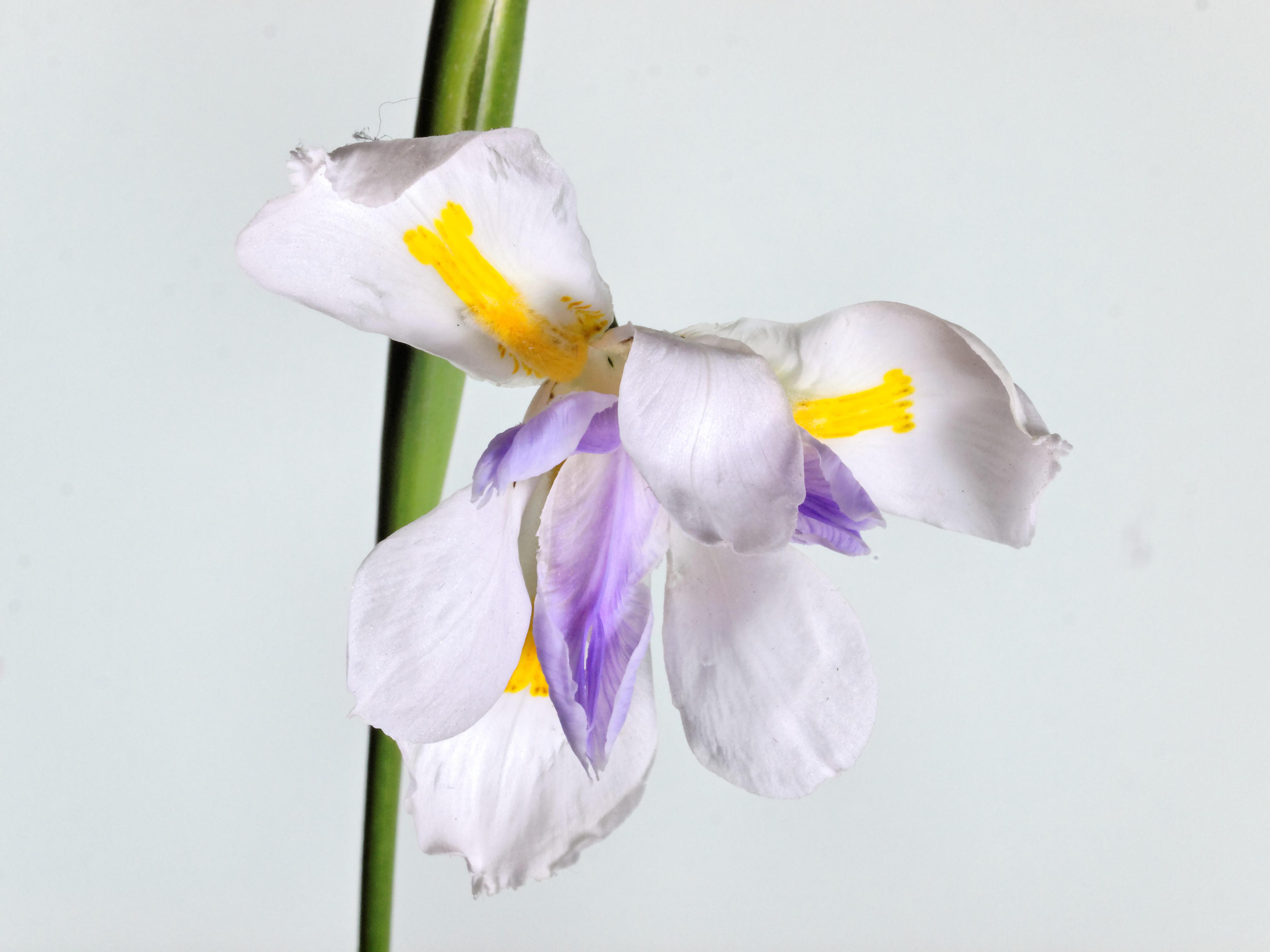 Iris-2.jpeg