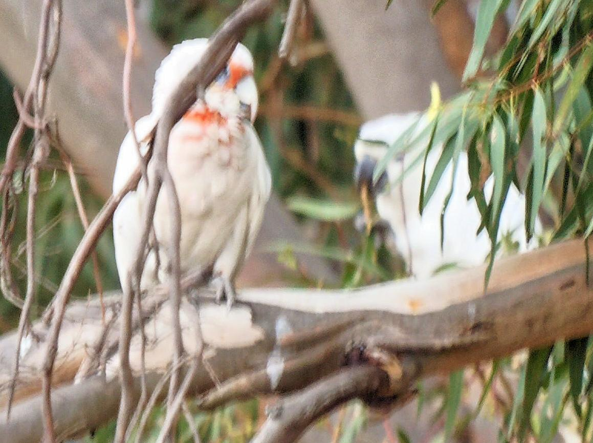 Cockatoos-4-detail.jpeg
