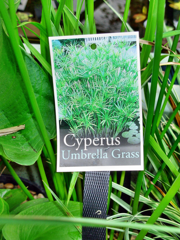 Cyperus-1.jpeg
