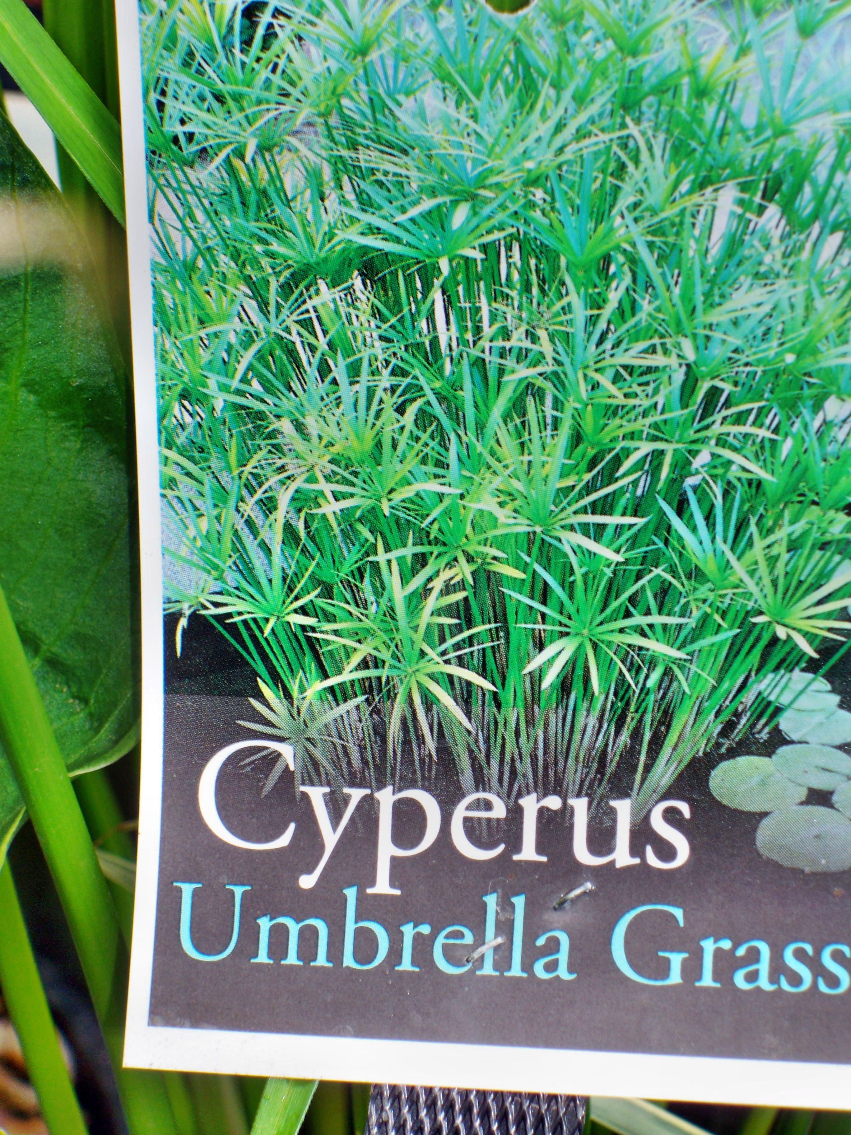 Cyperus-2.jpeg