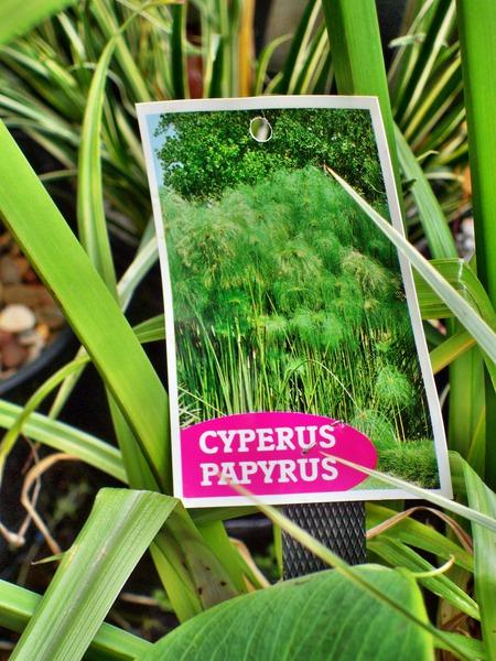 Cyperus-papyrus-2.jpeg