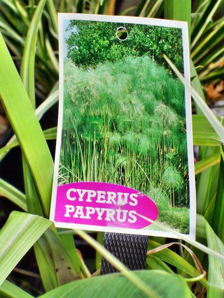 Cyperus-papyrus-3.jpeg