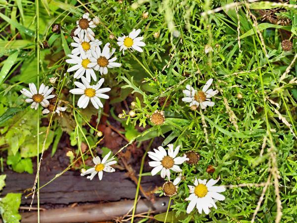 Daisy-2.jpeg