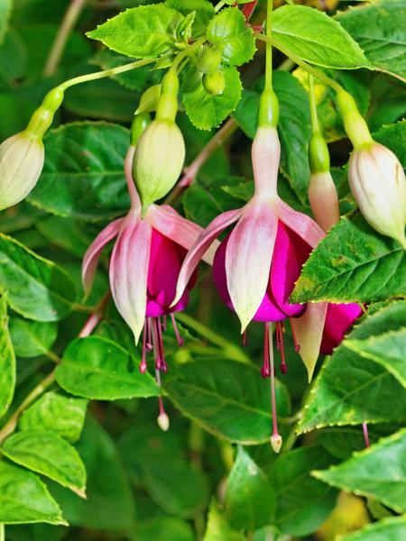 Fuchsia-3.jpeg