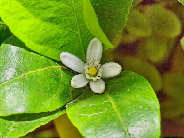 Lime-flower-2.jpeg