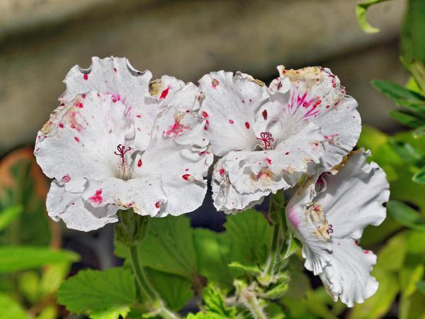 Pelargonium-rhodo-2.jpeg