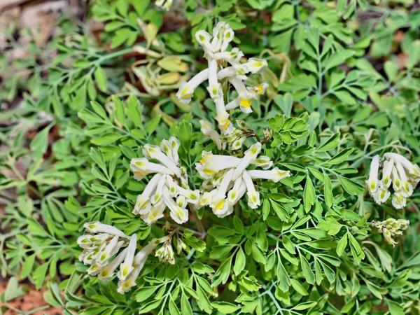 Pseudofumaria-1.jpeg