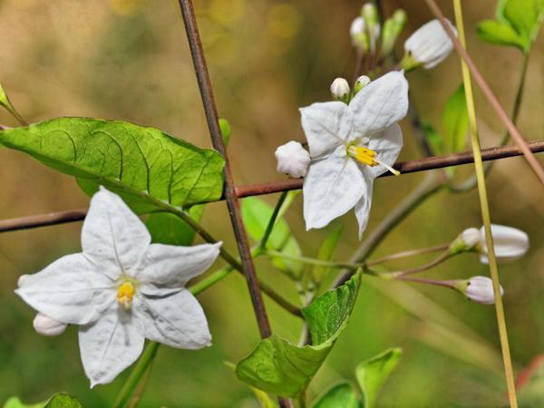 Solanum-laxum.jpeg