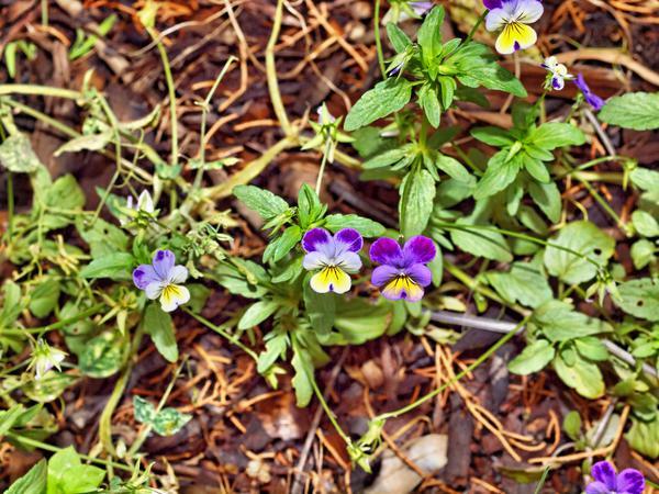 Viola-tricolor-2.jpeg