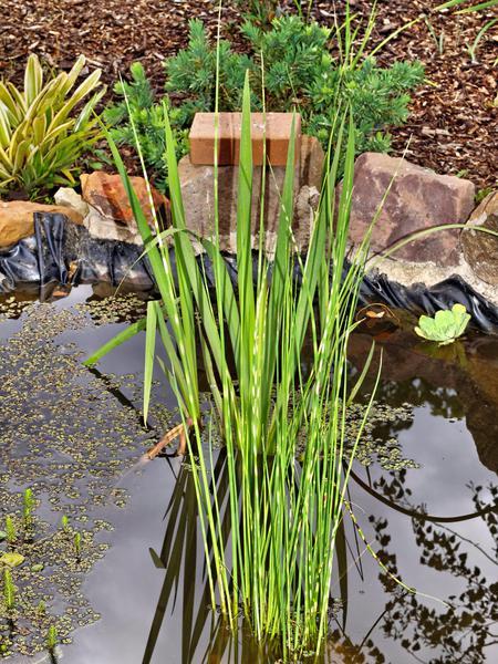 Water-plant-3.jpeg