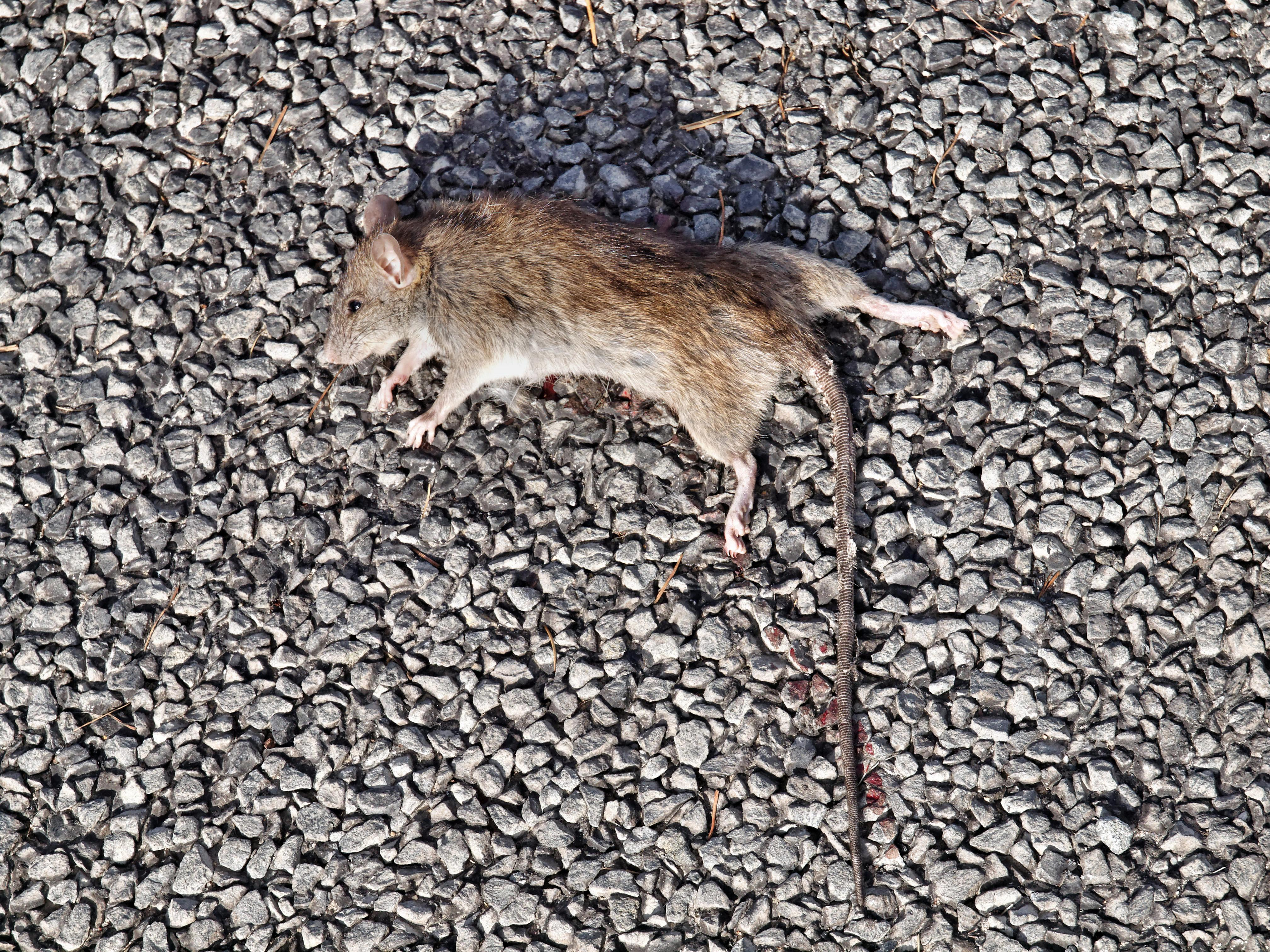 This should be Rat-2.jpeg.  Is it missing?