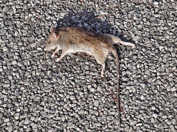 Rat-2.jpeg
