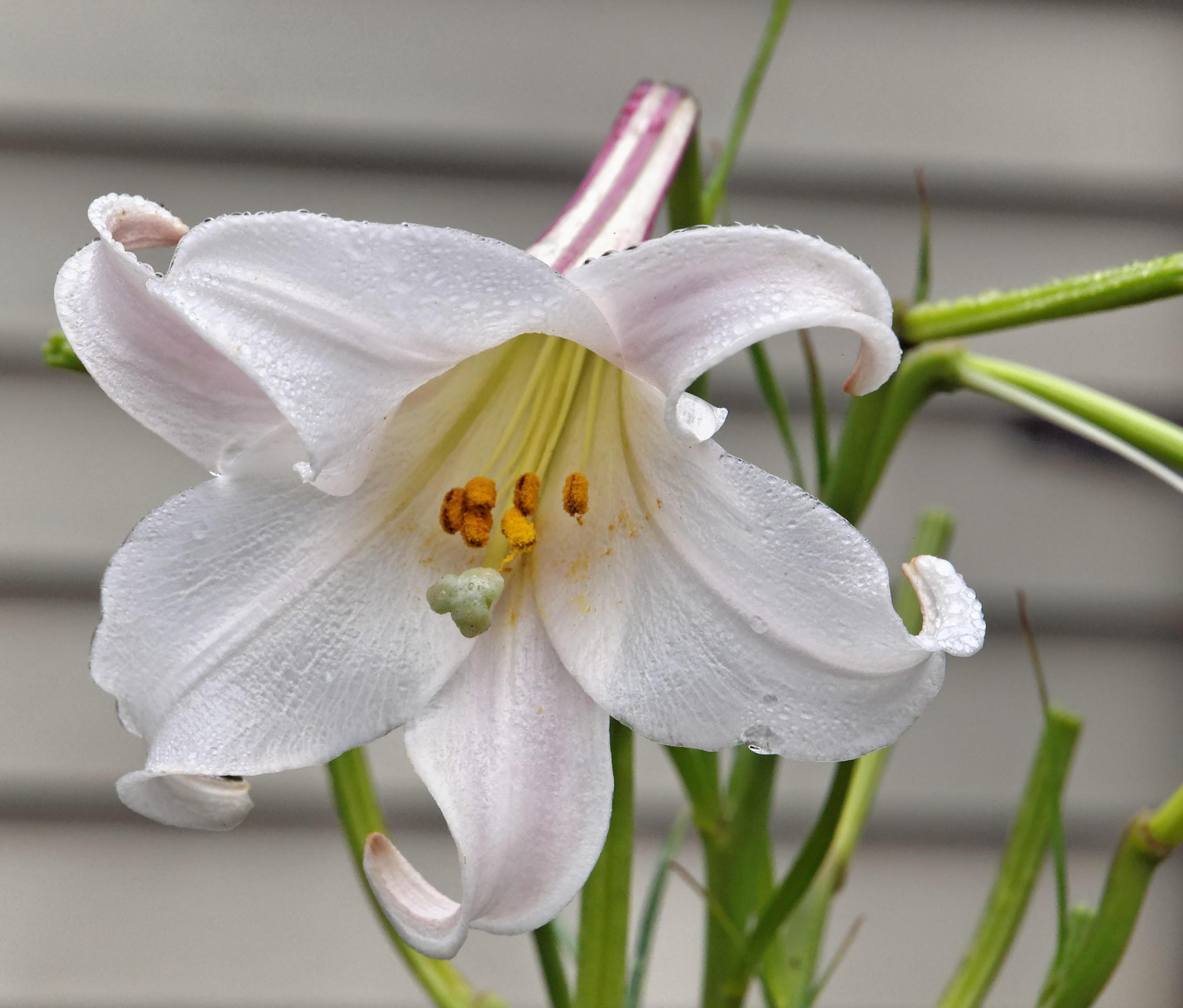 Lilium-formosanum.jpeg