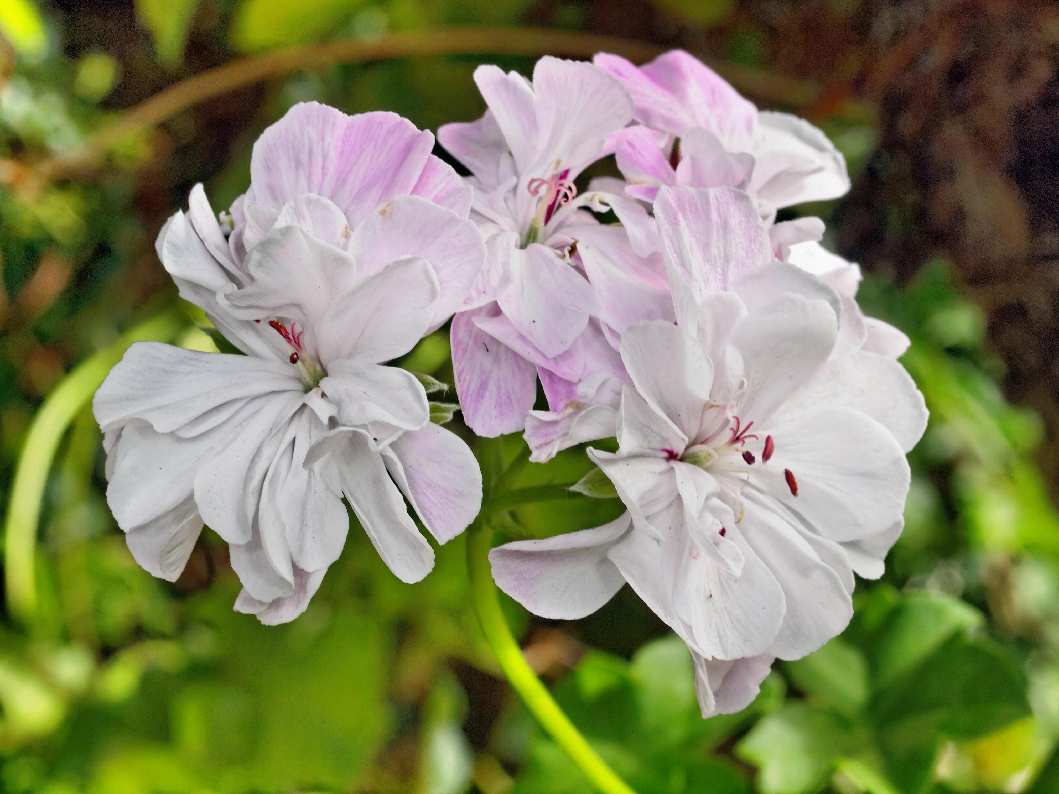 This should be Pelargonium-6.jpeg.  Is it missing?