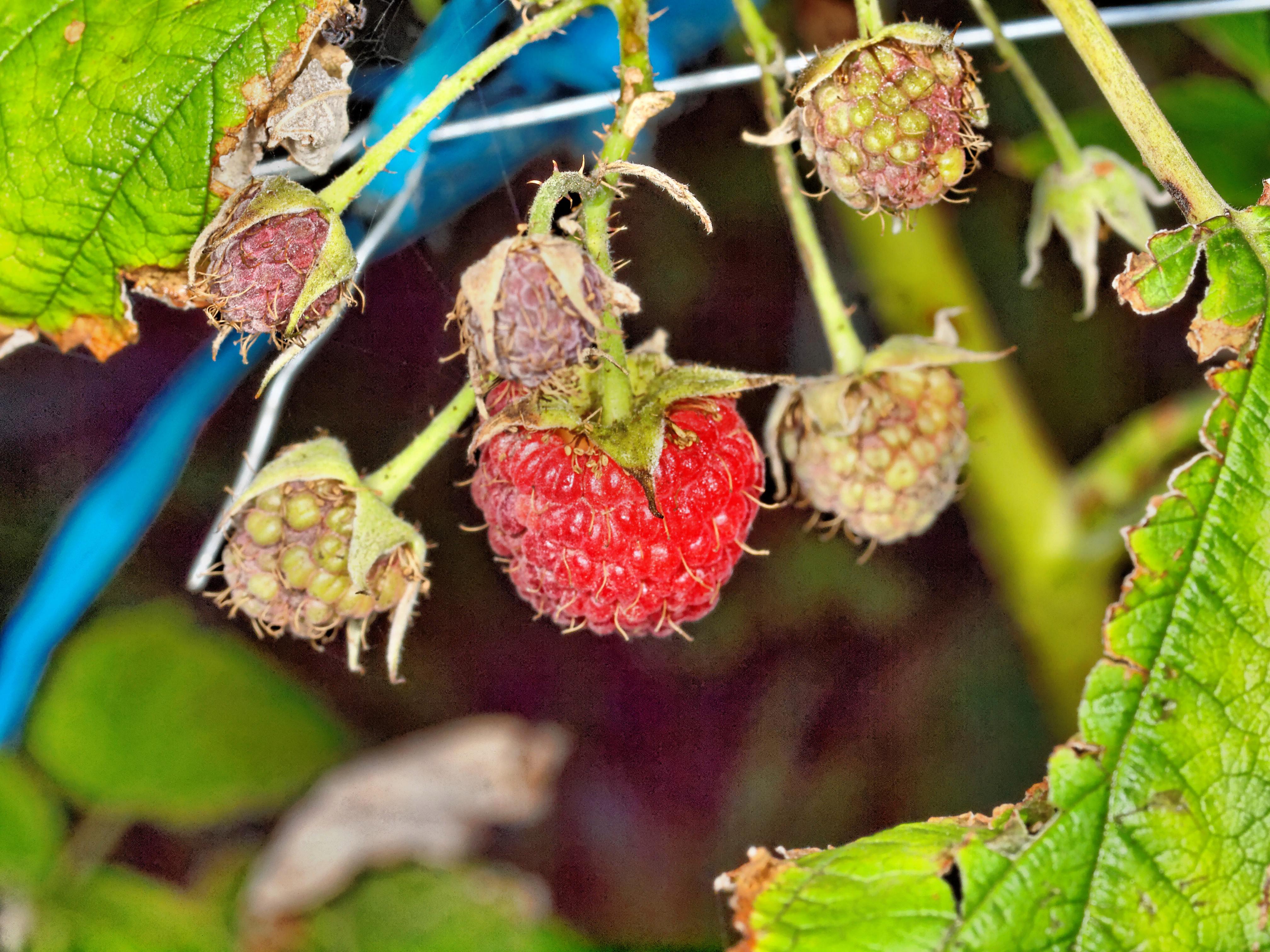 Raspberry-2.jpeg
