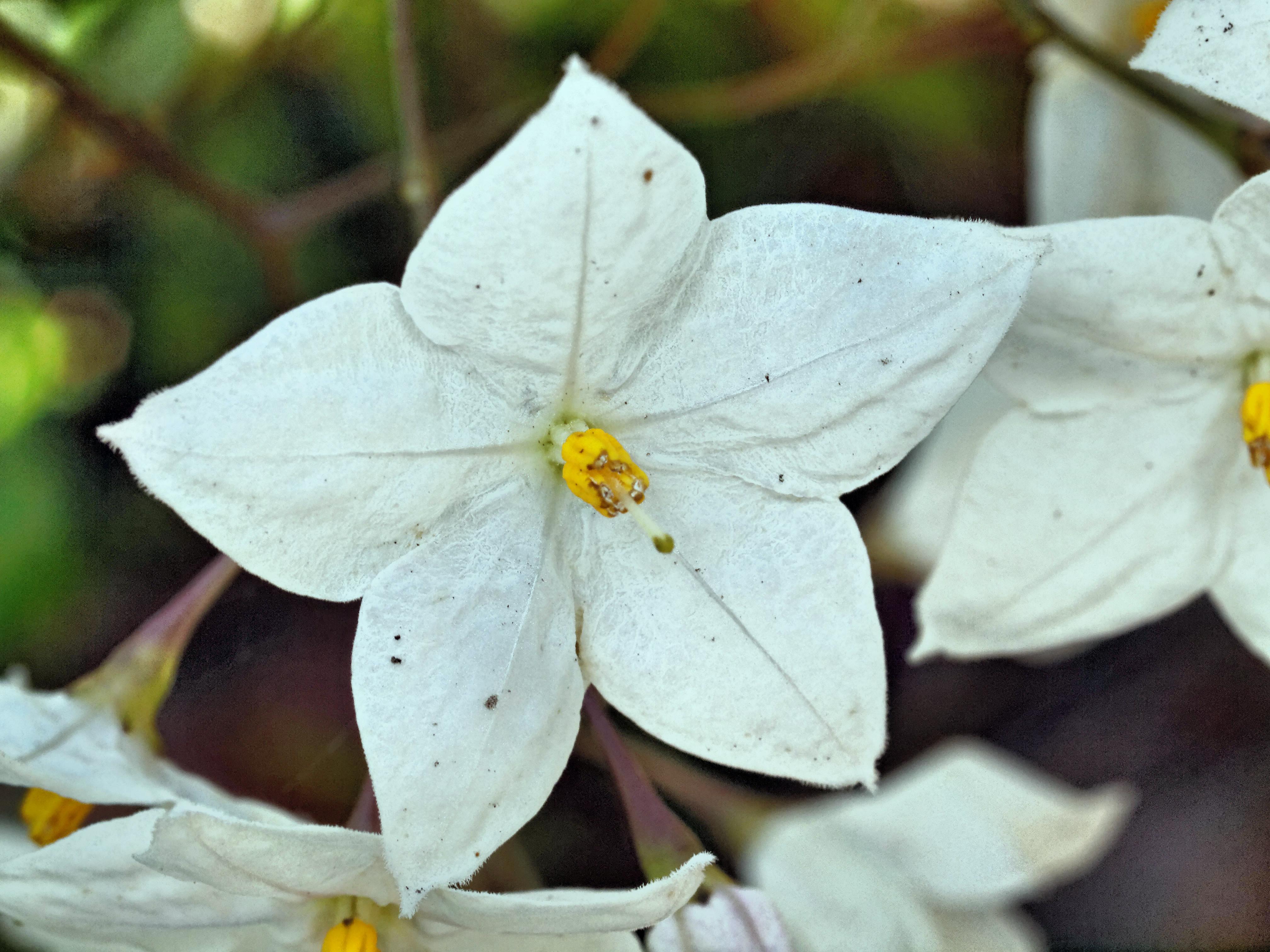 Solanum-laxum-2.jpeg