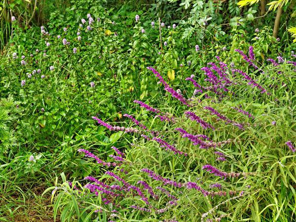 Salvia-5.jpeg