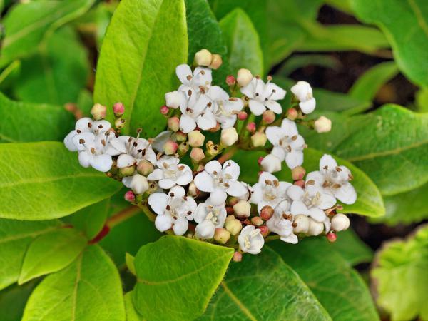 Viburnum-rhytidophylloides.jpeg