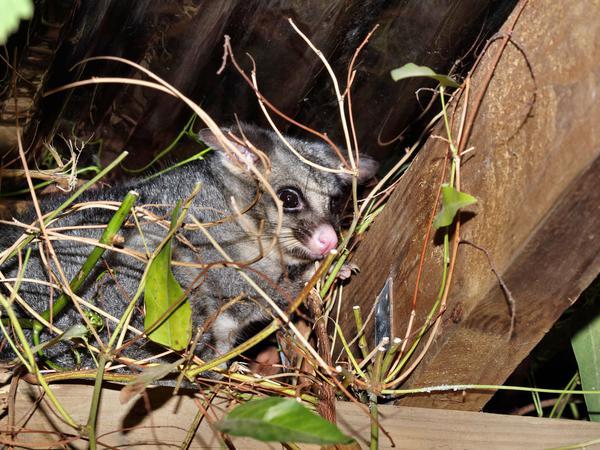 Possum-10.jpeg