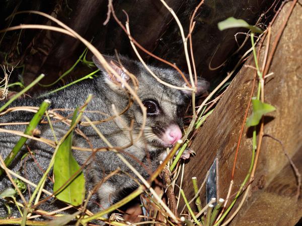 Possum-11.jpeg